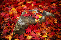 A boulder is buried under colorlful Maple leaves.