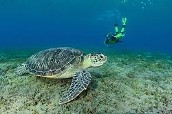Chelonia mydas, Gruene Suppenschildkroete und Taucher oder Schnorchler, Green Sea Turtle, Seaturtle and scuba diver, Marsa Alam, Rotes Meer, Ägypten, Red Sea Egypt