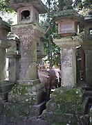 Japan, Honshu, Nara, Todai-Ji Temple the resident deer