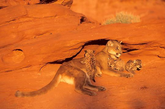 Mountain Lion or Cougar, (Felis concolor) Mother and cubs. Utah. Red rock country. Captive Animal.