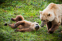 While frolicking around, a grizzly cub looks up at its mother at Sable Pass. This area is permanently closed to hiking between miles 37-43 because bears pass through frequently.  <br /> -2009