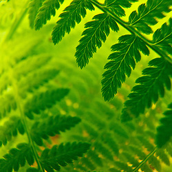 Fern close-up. Vermont's Green Mountains.