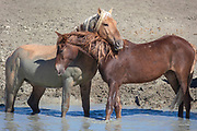 Two members of a wild horse clan in Sand Wash Basin Colorado, show their affection for one another