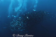 """Cape gannets, Sula capensis, attack a """"baitball"""" of sardines, Sardinops sagax, South Africa ( Indian Ocean )"""