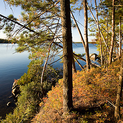 Pine trees on the shoreline of Seboeis Lake near Millincocket, Maine.