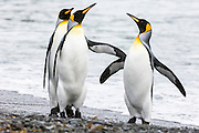 Two female King Penguins (Aptenodytes patagonicus) participating in a slap flight over a male, Fortuna Bay, South Georgia Island, South Atlantic Ocean