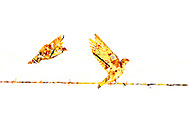 A creatively rendered multiple exposure photograph of two swallows on barbed wire and maple leaves.