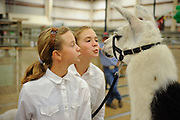Girls show some love to a llama at the Montana State Fair, before the animal judging.