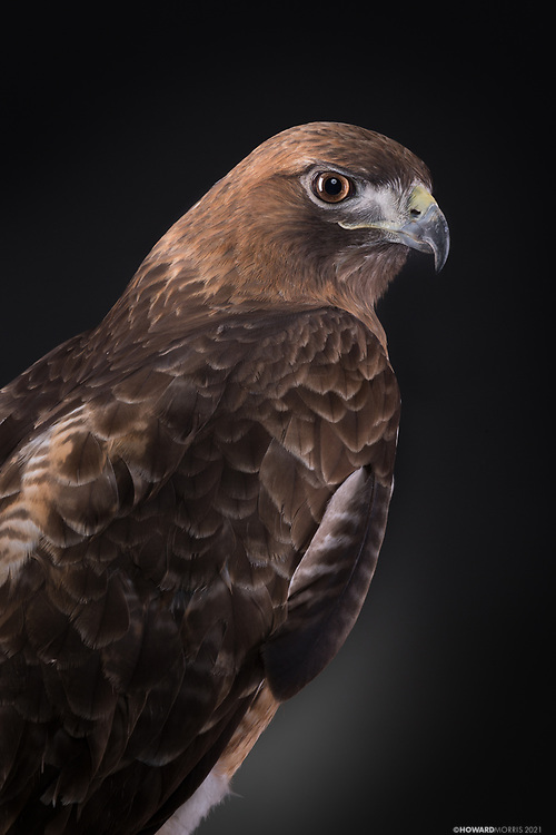 Red-tailed Hawk (Buteo jamaicensis). Found as a nestling on the ground under her nest being attacked by crows, Rosie sustained a broken wing that never healed properly.