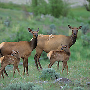 Elk cows with spring calves in sage brush prairie during early summer.
