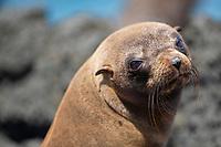 Fur Seal Galapagos Close-up