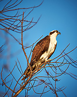 Osprey in a tree at Fort De Soto Park. Pinellas County, Florida Image taken with a Fuji X-T2 camera and 100-400 mm OIS lens (ISO 200, 400 mm, f/5.6, 1/280 sec).