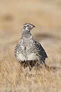 Greater Sage-Grouse - Centrocerus urophasianus - female