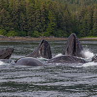 A group of Humpback whales bubble net feed in summer waters of Alaska