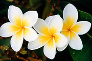 Frangipani flowers after a rain storm. (Plumeria Rubia. - Also know as Plumeria, West Indian Jasmine) <br /> <br /> Editions:- Open Edition Print / Stock Image
