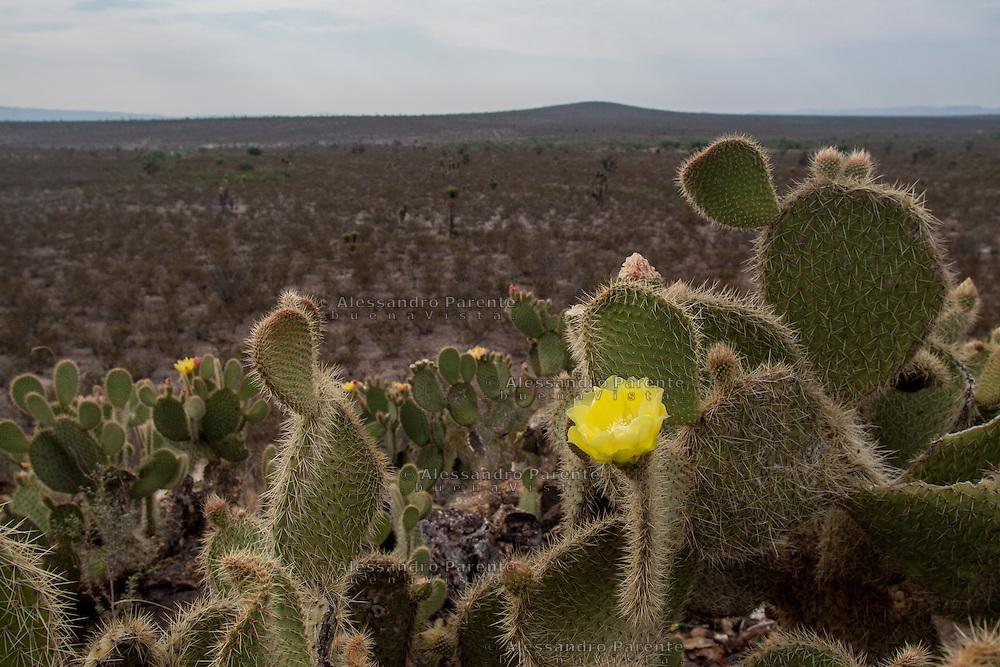 Un fiore di cactus. Queste piante fioriscono una volta l'anno per un giorno e una notte soltanto.<br /> A cactus flower, these plants have flowers just once a year and for just one day.