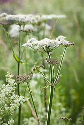 Hogweed. Heracleum sphondylium