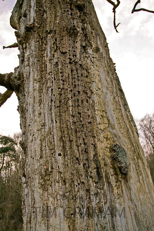 Bark of dead Elm tree, Sherbourne, Gloucestershire, United Kingdom