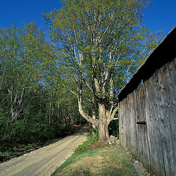 Wardsboro, VT.An old barn next to a dirt road in the Green Mountains in southern Vermont. Sgar maple.