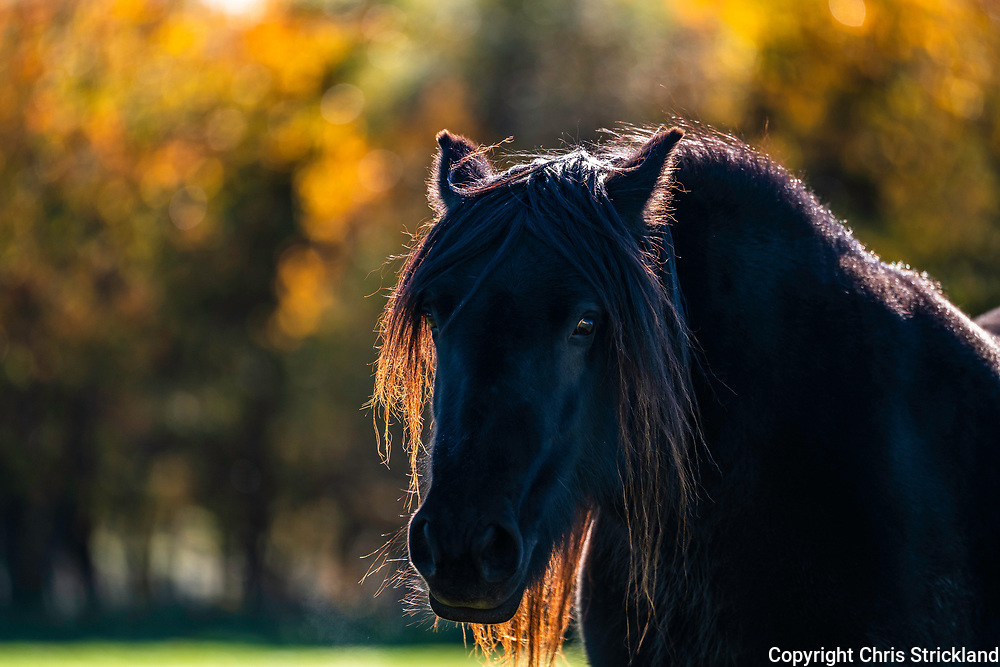 Towford, Jedburgh, Scottish Borders, UK. 15th October 2018. Fell Ponies graze in the autumn sunshine at Towford Farm in the foothills of the Cheviots near the Anglo Scottish Border.