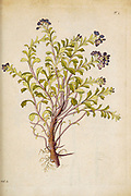 hand painted Botanical illustration of flower details leafs and plant from Miscellanea austriaca ad botanicam, chemiam, et historiam naturalem spectantia, cum figuris partim coloratis. Vol. II  by Nicolai Josephi Jacquin Published 1781. Figure 1