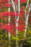A longer focal length was used to isolate the peak autumn reds that grace the delicate trunks of a white birch in Groton State Forest, Vermont