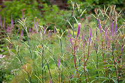 Veronicastrum virginicum 'Fascination' with Foeniculum vulgare.<br /> Culver's root and fennel