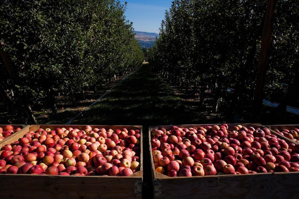 Apple orchard at harvest...Phillippi Fruit Company..For Graceland Project 2008.
