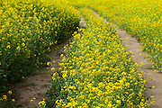 A Path In The Mustard Fields
