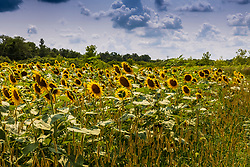 """The sunflower (Helianthus annuus) is an annual plant with a large daisy-like flower face. Its scientific name comes from the Greek words helios (""""sun"""") and anthos (""""flower""""). The flowers come in many colors (yellow, red, orange, maroon, brown), but they are commonly bright yellow with brown centers that ripen into heavy heads filled with seeds. <br /> <br /> Sunflowers are heliotropic, which means that they turn their flowers to follow the movement of the Sun across the sky east to west, and then returns at night to face the east, ready again for the morning sun. Heliotropism happens during the earlier stages before the flower grows heavy with seeds."""