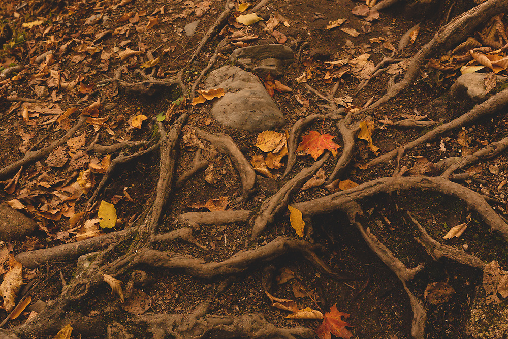 Tree roots and fallen leaves along the forest floor within Crawford Notch.