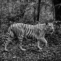 The Indochinese tiger is a population of the Mainland Asian tiger (Panthera tigris tigris) in Indochina.This population occurs in Myanmar, Thailand, Lao PDR, Vietnam, Cambodia and southwestern China. It has been listed as Endangered on the IUCN Red List since 2008, as the population seriously declined and approaches the threshold for Critically Endangered. As per 2011, the population was thought to comprise 342 individuals. The largest population unit survives in Thailand estimated at 189 to 252 individuals.