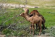 Two young Dromedary camels feeding from a bush Photographed Kidron valley, Judaean desert, West Bank Palestine Israel in March