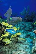princess parrotfish, Scarus taeniopterus ( terminal phase ),<br /> and French grunts, Haemulon flavolineatum,<br /> Grand Bahama Island, Bahamas <br /> ( Western Atlantic Ocean )