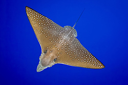 ocellated eagle ray, Aetobatus ocellatus, Kona Coast, Big Island, Hawaii, Pacific Ocean