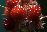 Dewberry,