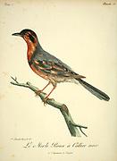 MERLE ROUX A COLLIER NOIR from the Book Histoire naturelle des oiseaux d'Afrique [Natural History of birds of Africa] Volume 3, by Le Vaillant, François, 1753-1824; Publish in Paris by Chez J.J. Fuchs, libraire 1799 - 1802