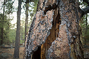 loose bark on a ponderosa pine snag in the Coconino National Forest, Arizona. This kind og snag provides a variety of wildlife habitats, including day roosts for bats.
