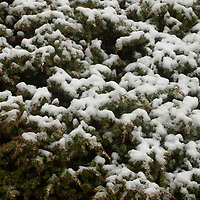 Snow dusts the branches of a fir tree in Alberta, Canada's Banff National Park.