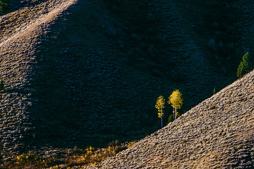 Quaking aspen, afternoon light, October, Grand Teton National Park, Wyoming, USA