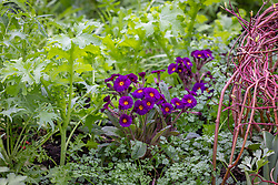 Polyanthus 'Stella Neon Violet' F1 growing with Mustard wasabi and Chervil