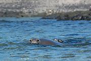 Hawaiian monk seal, Neomonachus schauinslandi, formerly Neomonachus schauinslandi ( Critically Endangered, endemic species ), 8-9 year old female, with 6 week old pup, Kaiole Bay, near Kamilo Point, Ka'u, Hawaii ( the Big Island )