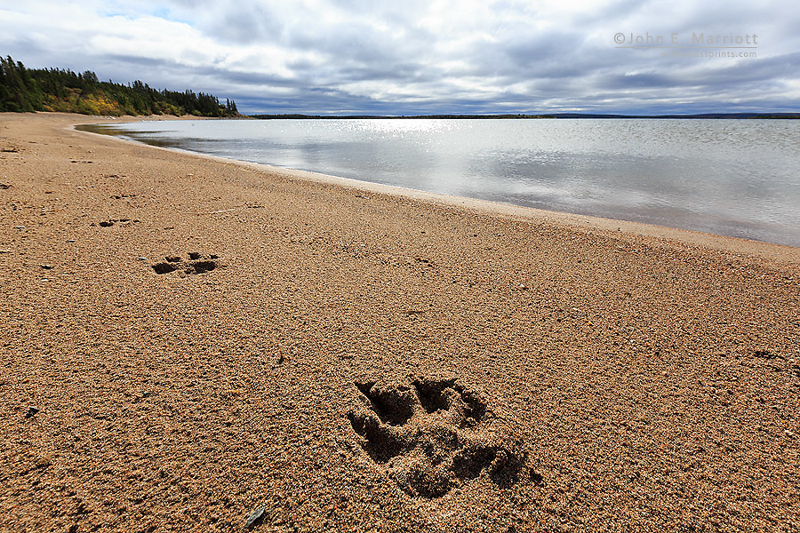 Wolf tracks in the Canadian arctic