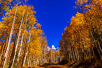 A grove of aspen trees in autumn, Kebler Pass, near Crested Butte, Colorado USA.