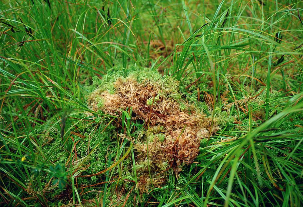 Sphagnum moss by Lake Kaniere conservation area, Hokitika,  South Island,New Zealand