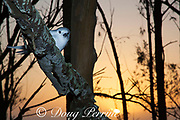 white tern or fairy tern, Gygis alba rothschildi, at sunset, Sand Island, Midway, Atoll, Midway Atoll National Wildlife Refuge, Papahanaumokuakea Marine National Monument, Northwest Hawaiian Islands, USA ( Central North Pacific Ocean )
