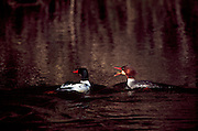 USA, Oregon, Siltcoos Recreation Area, Pair of Common Mergansers (Mergus merganser)