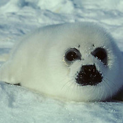 Harp Seal, (Pagophilus groenlandicus) Called a white coat, rests on an ice pack. Nova Scotia. Canada