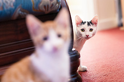Rescued stray feral kittens playing and relaxing in their adopted home, England, United Kingdom.