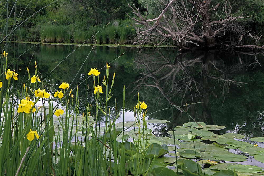 Yellow flag iris (Iris pseudacorus) and yellow water-lily (Nuphar lutea). Hutovo Blato Nature Park. Bosnia-Herzegovina.<br /> Elio della Ferrera / Wild Wonders of Europe